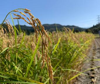 本日「酒米菊水」の稲刈りが行われました